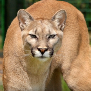 How to Act Around Wildlife: Cougars